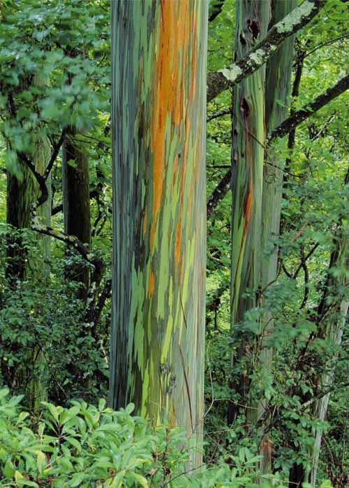 eucalyptuscool1